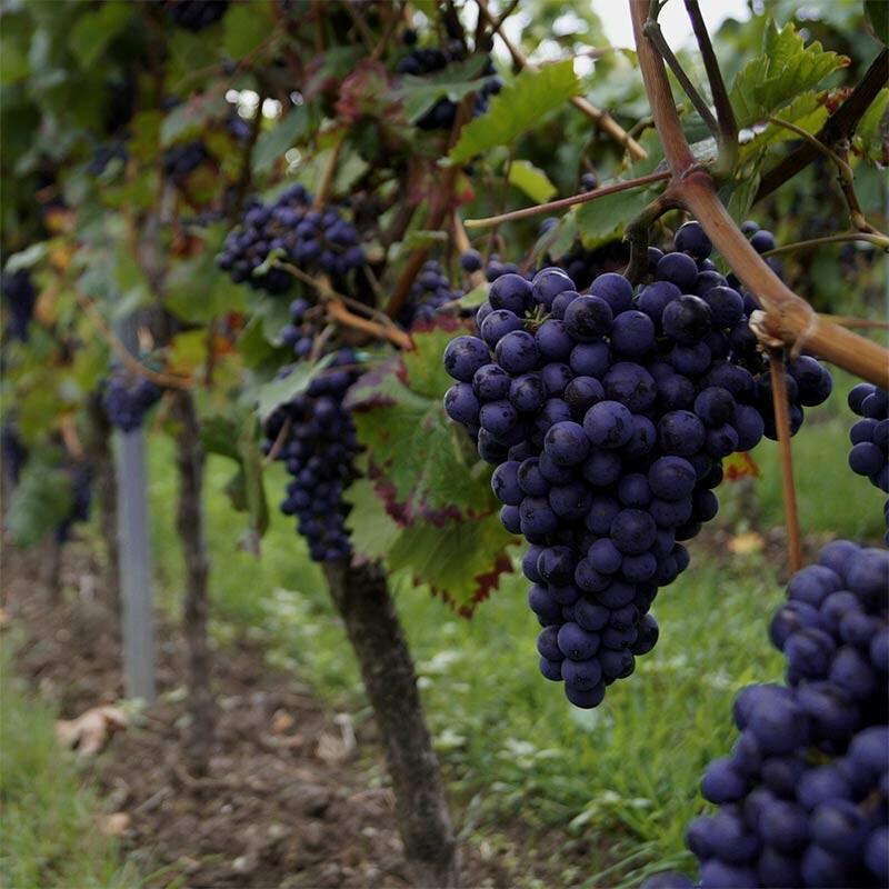 Weinproduktion - Alkoholgehalt regeln