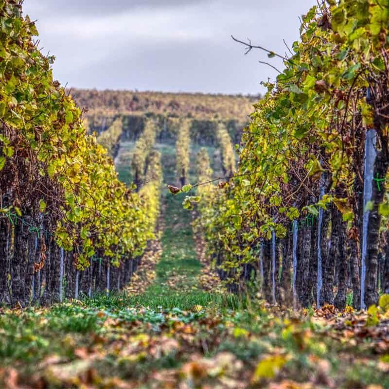 Weinproduktion - Austrieb von Weinknospen