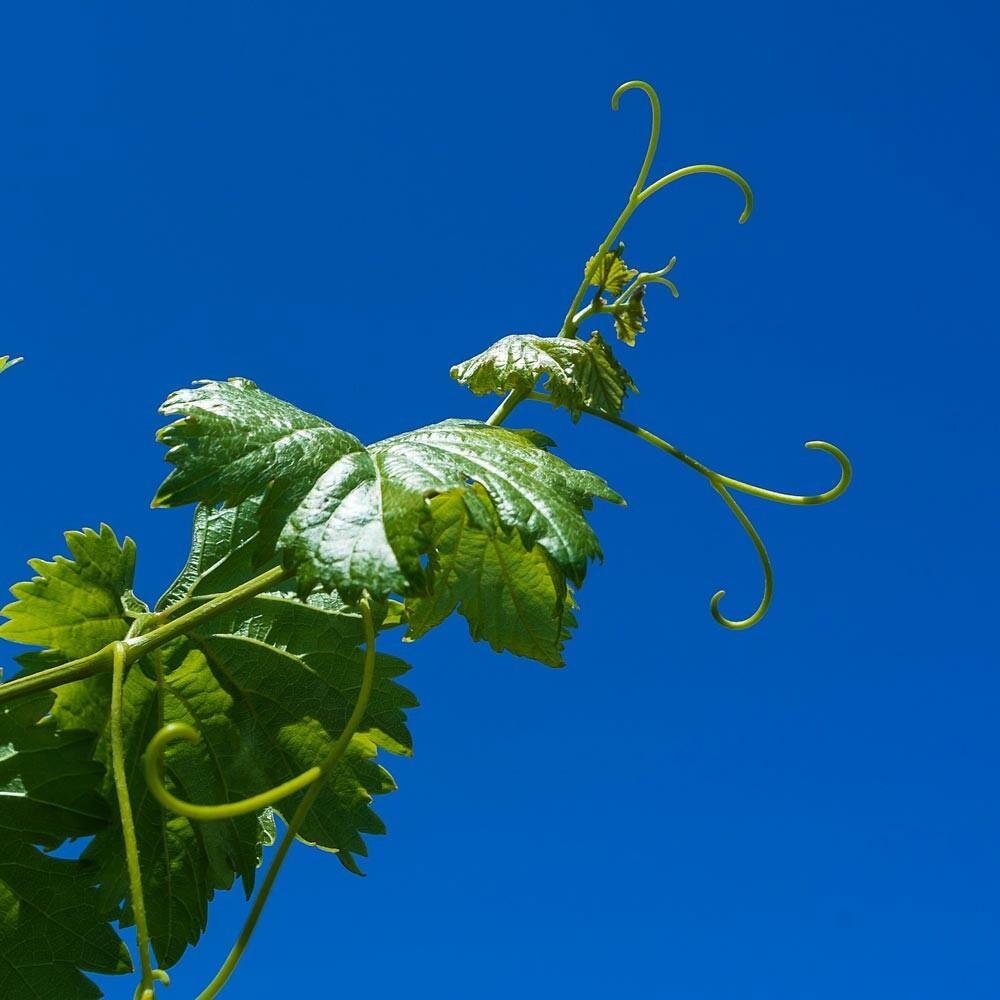 Blindreben im Weinbau