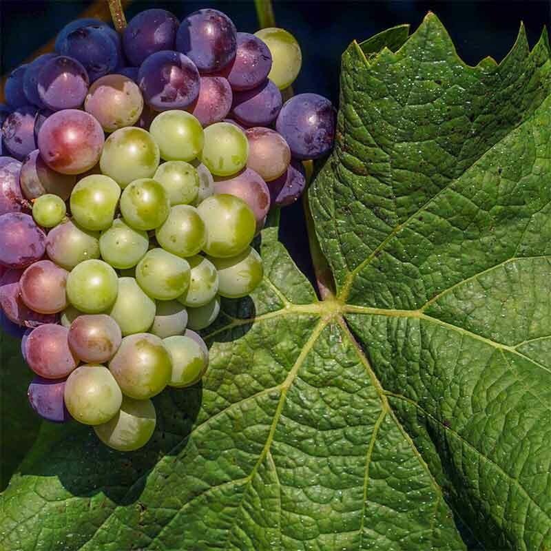 Edle Wein-Trauben