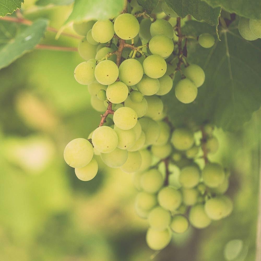 Edelreben - Mutter aller Weinreben