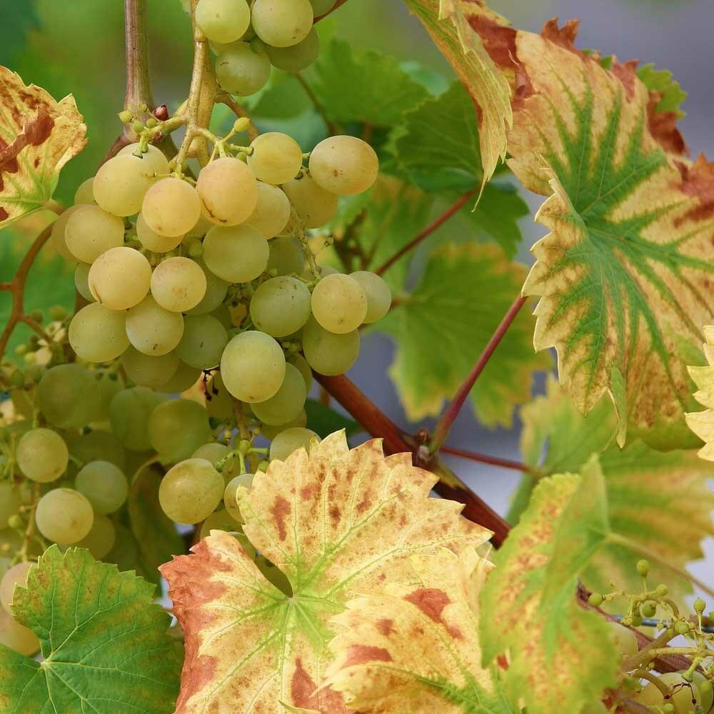 Edelsüßen Wein kaufen