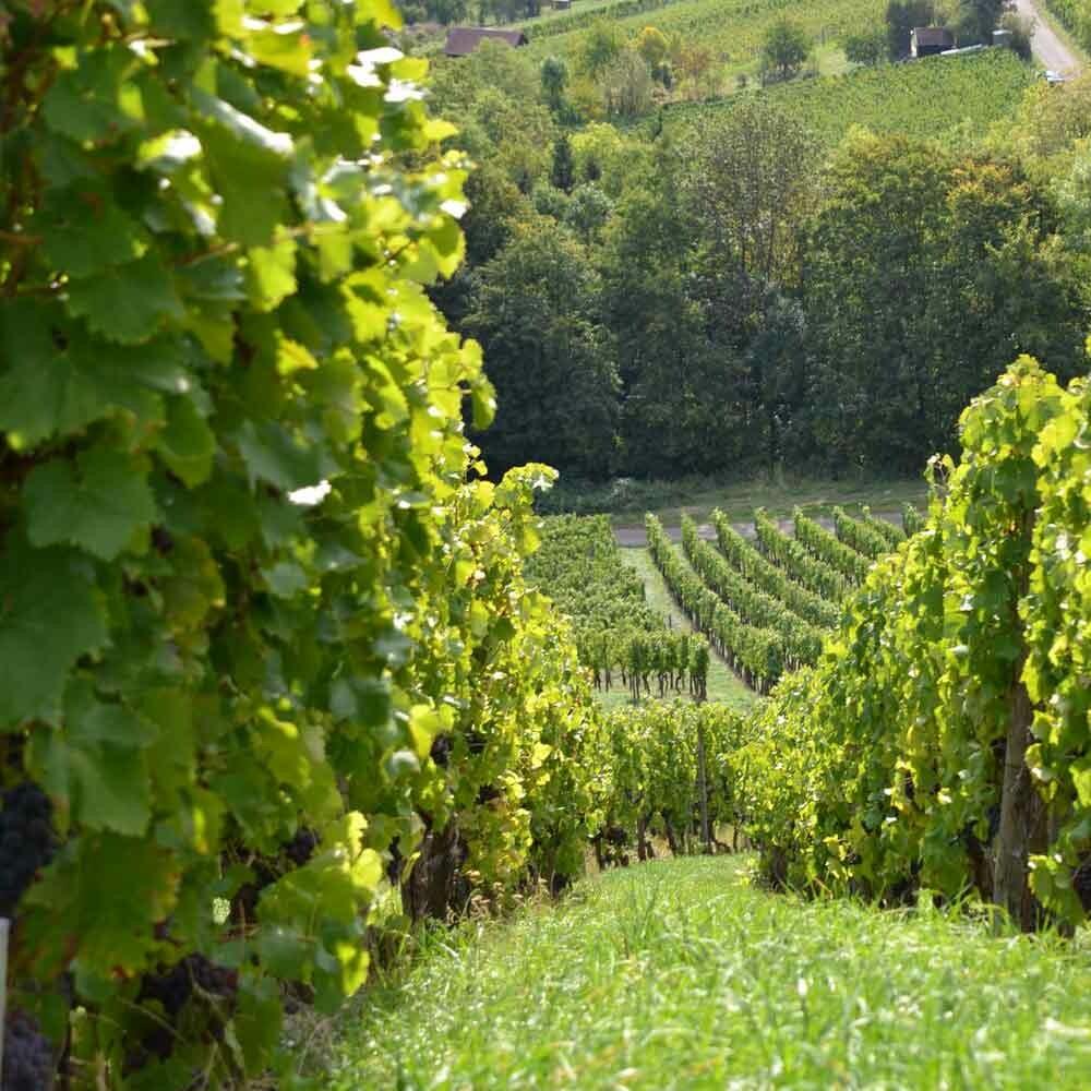 Grünlese - Erhaltung der Weinqualität