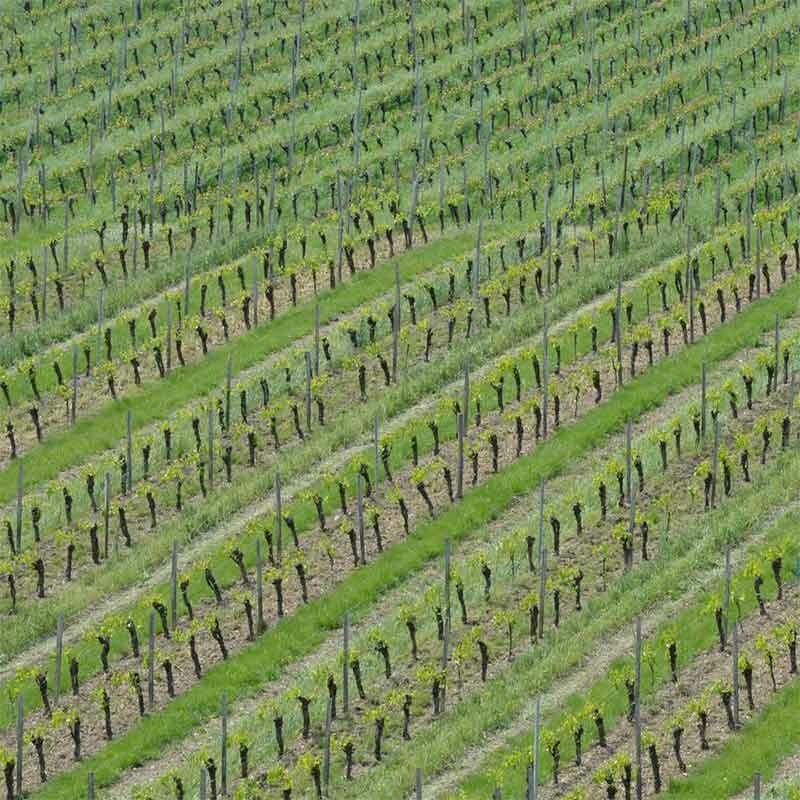 Wein-Maische, Most zu Wein