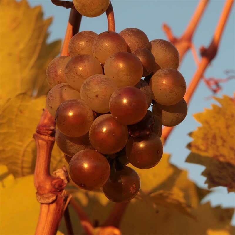 Weinbau und Mehltau