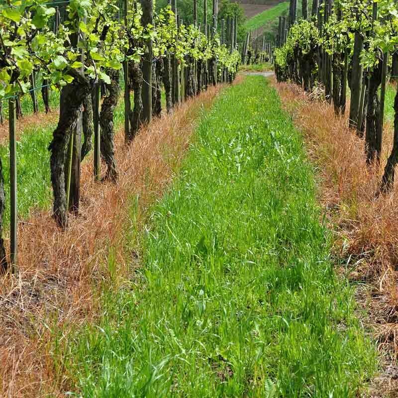 Einfluß des Bodens auf die Weintrauben