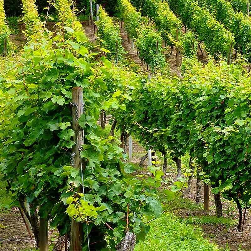 Önologie Weinkunde
