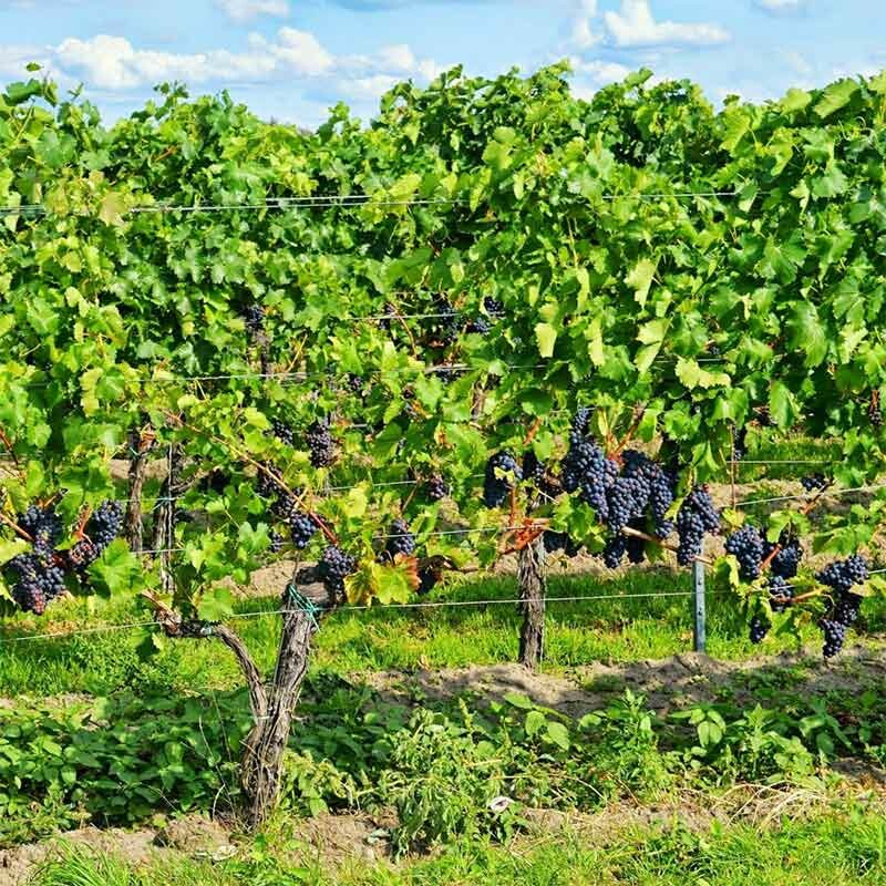 Rebstöcke am Weinberg - Weinproduktion