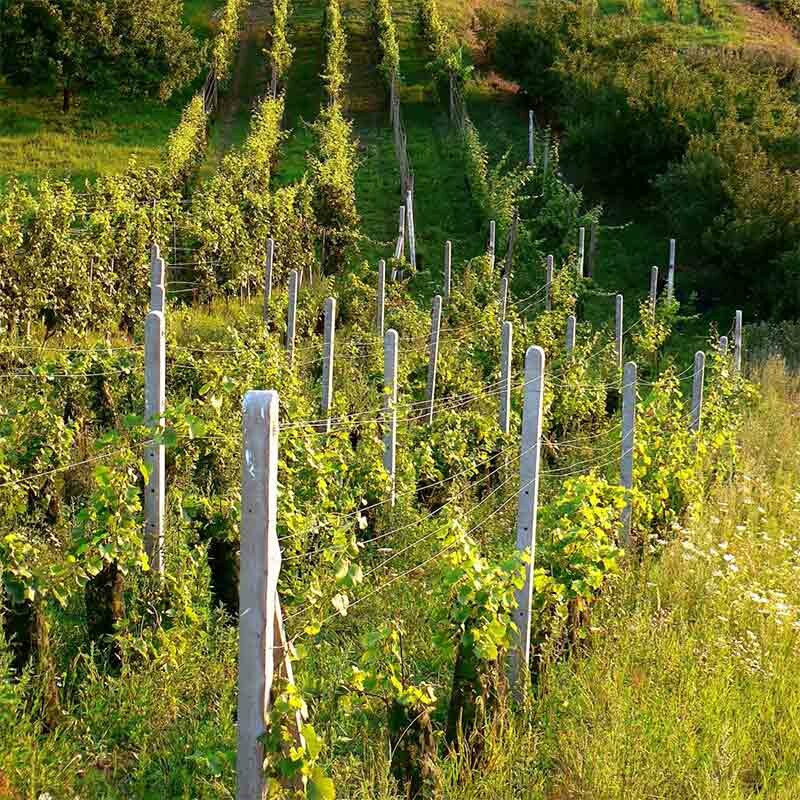 Reberziehung - Weinbau
