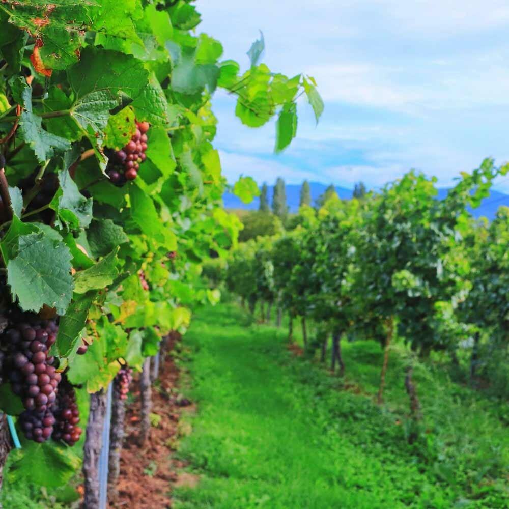 Wein-Cuvèe günstig kaufen